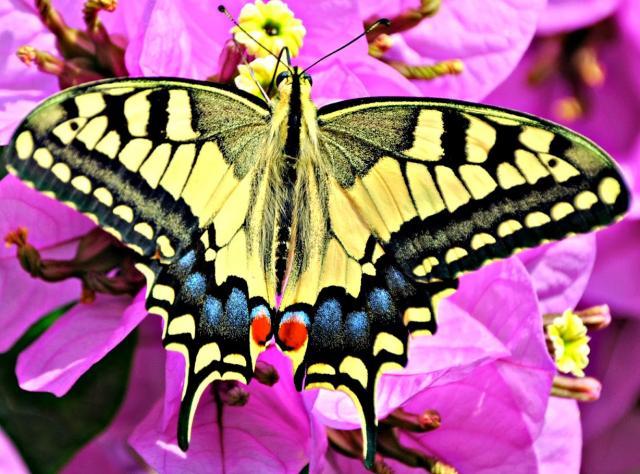 Macaón butterfly