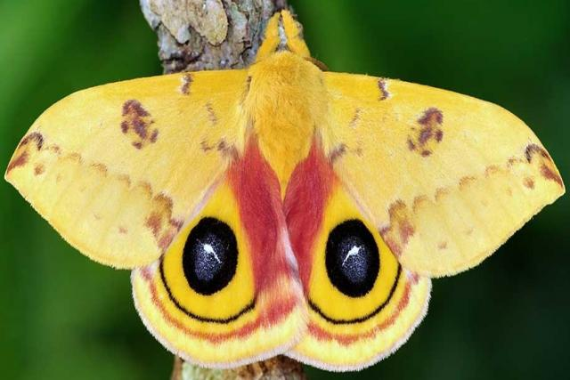 Moth Io