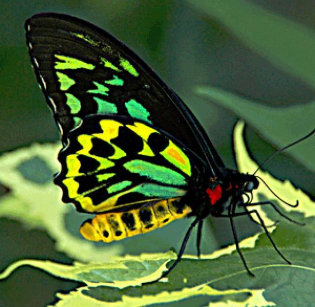 O pássaro da rainha Alexandra voa a borboleta
