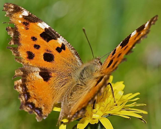 Olmera butterfly