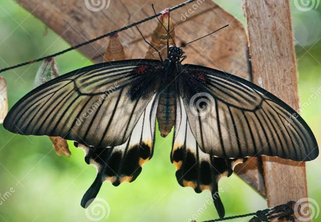 Papilio coon