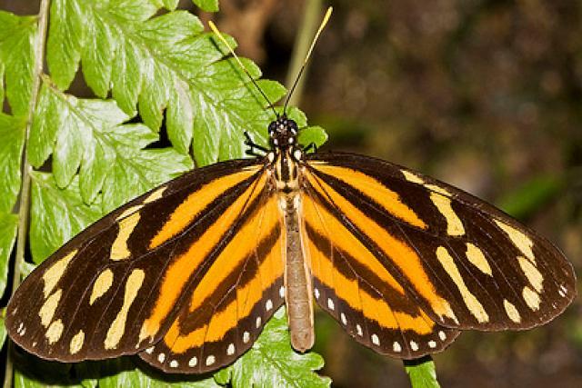 Plebeian butterfly