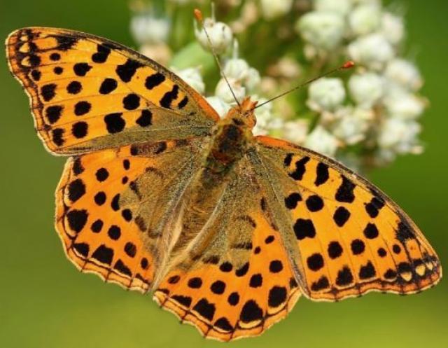 Sofia butterfly