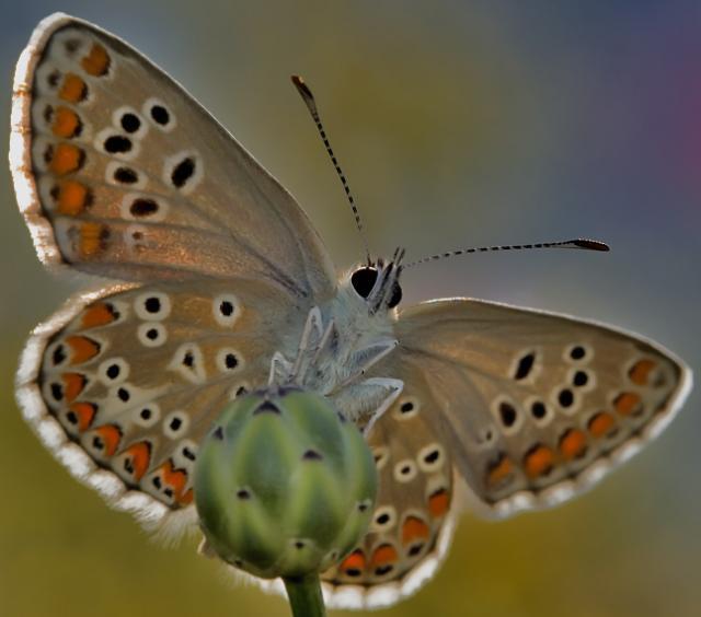 Spanish Brunette Butterfly