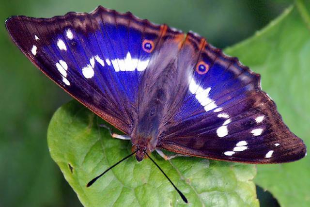 Tornasolada butterfly