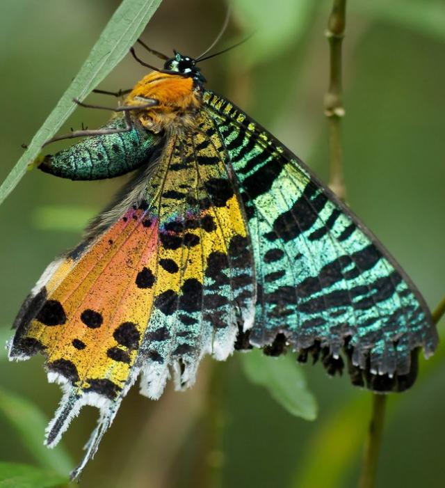 Urania of Madagascar