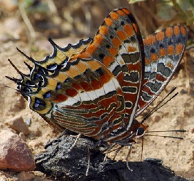 Vampire Butterfly