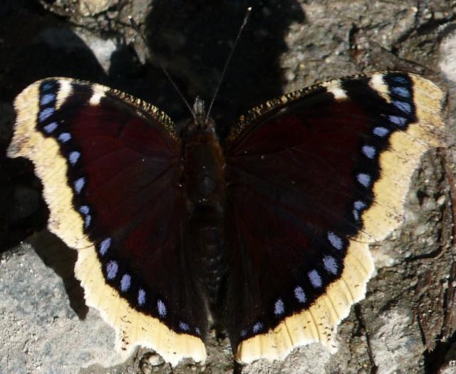 Yellow Margin Butterfly
