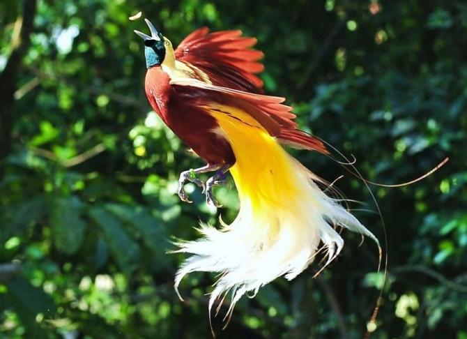 Paradisets fågel