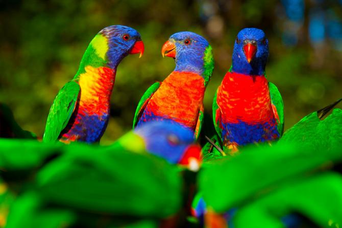 Rainbow papegoja