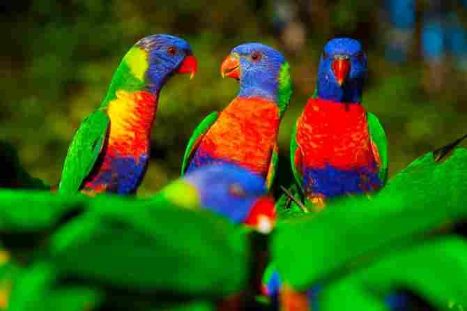 Rainbow parrot