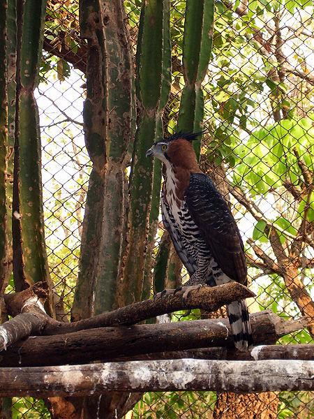 Águila calzada barreada.