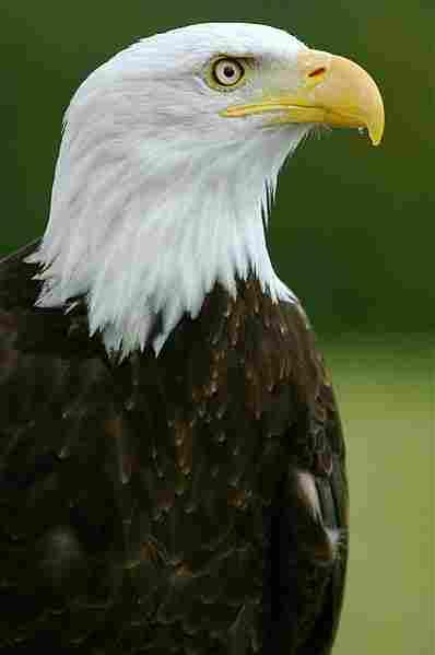 Águila de cabeza blanca.
