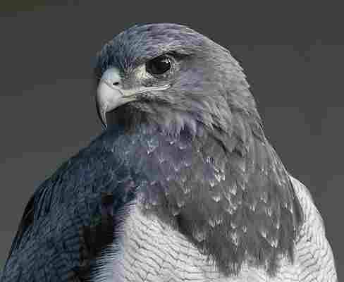 Águila escudada.