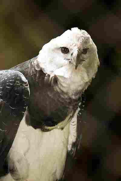 Águila harpía.