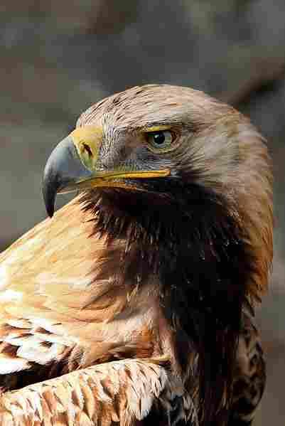 Águila Imperial Oriental.