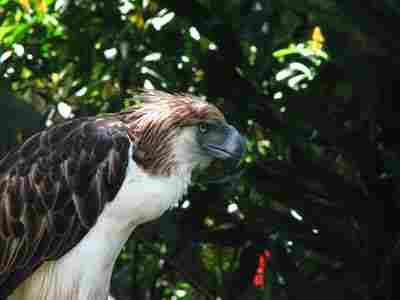 Águila monera filipina.