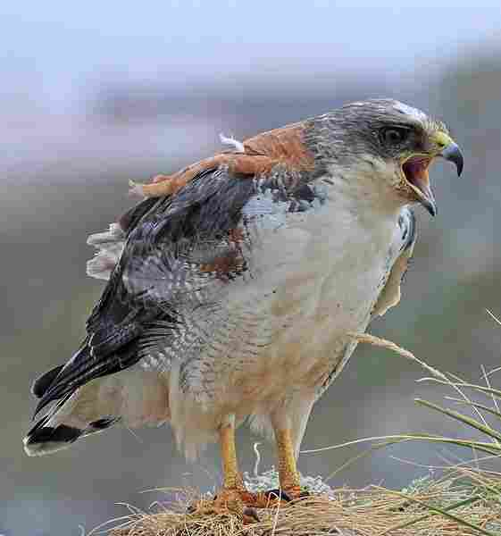 Águila parda.