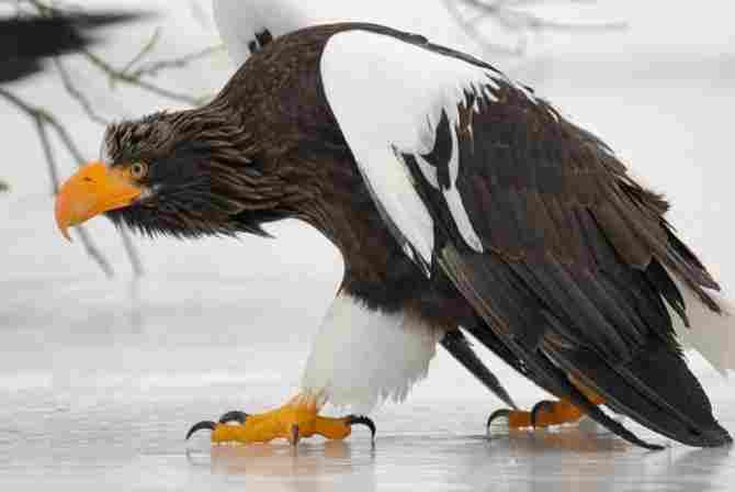 Águila Steller.