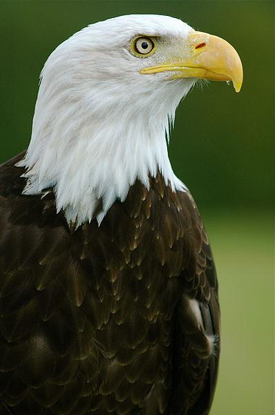 Aigle à tête blanche.