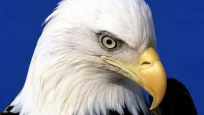 Die berühmteste Adlerart der Welt.