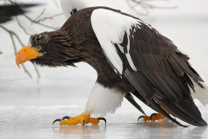 Eagle Steller.