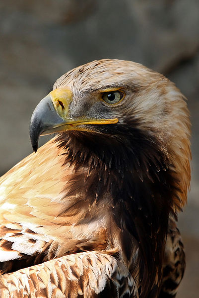 Eastern Imperial Eagle.