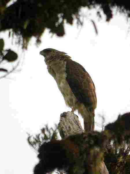 910+  Gambar Burung Elang Paling Indah HD Paling Keren