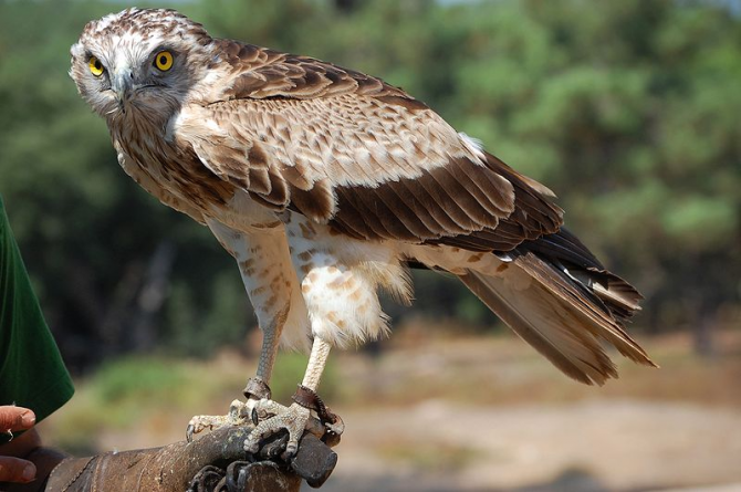 European short-toed eagle.