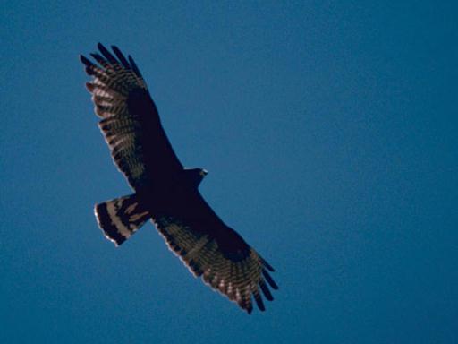 Harrier noir