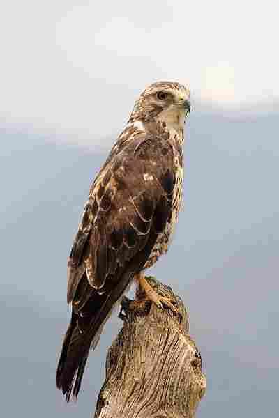 Unduh 45+ Foto Gambar Burung Elang Yang Sangat Indah HD Paling Bagus Free