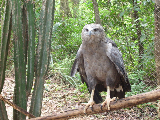 Lonely crowned eagle.