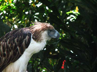 Philippine money eagle.