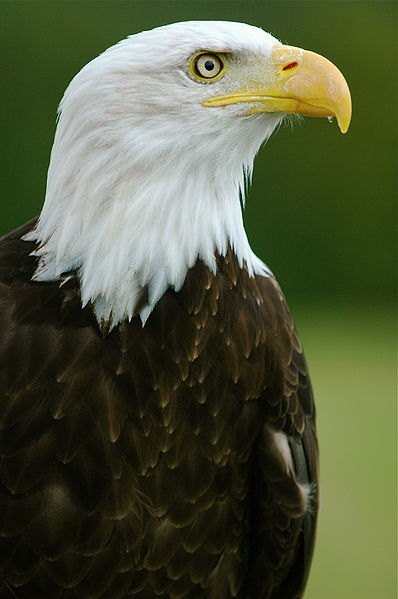White head eagle.