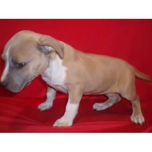 AMERICAN STAFORDSHIRE TERRIER