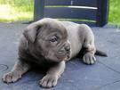 CORSO DOG