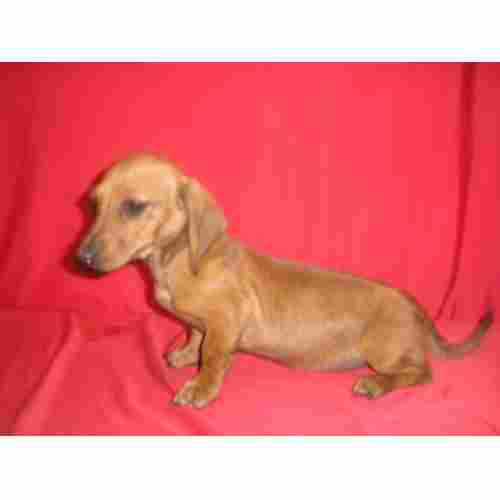 TECKEL (the so-called sausage dogs)