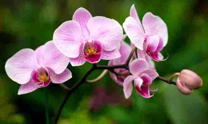 Orchid Butterflies