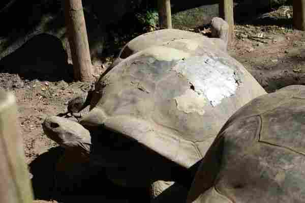 Herstel de schaal van een schildpad