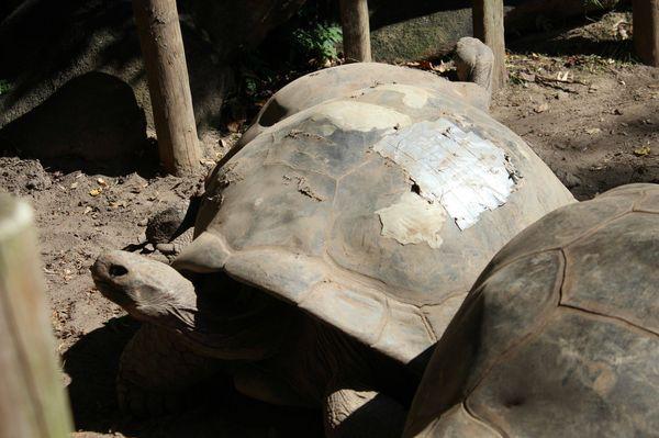 Reparar a concha de uma tartaruga