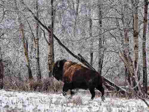 Buffalo Forest National Park