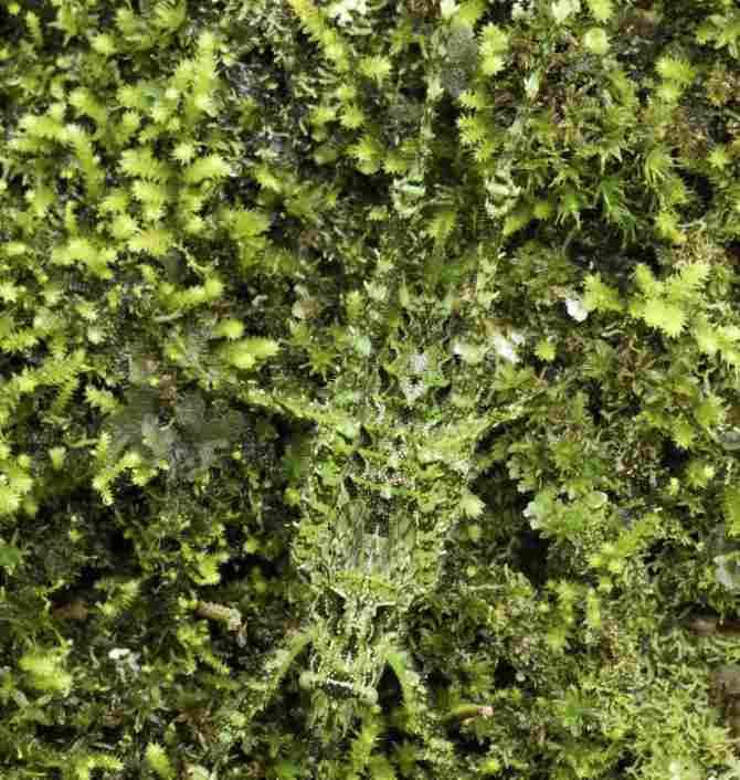Cricket of the bushes or Tettigoniidae