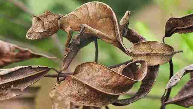 Gecko nord cua de fulla - Austràlia