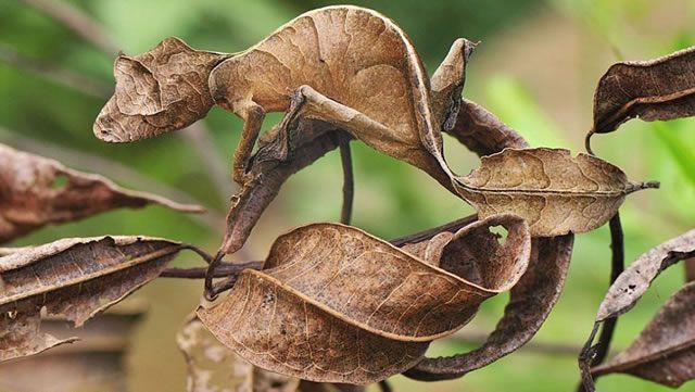 Gecko norteño cola de hoja – Australia