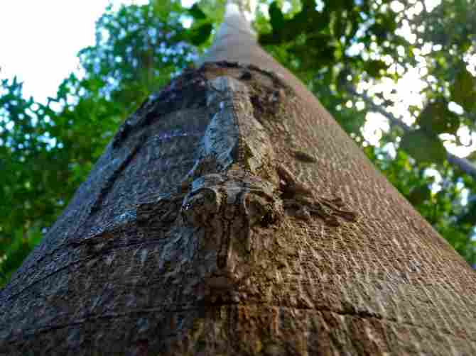 Geckos Uroplatus – Madagascar
