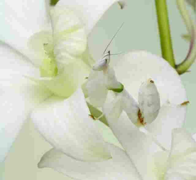 mantis Orquídia