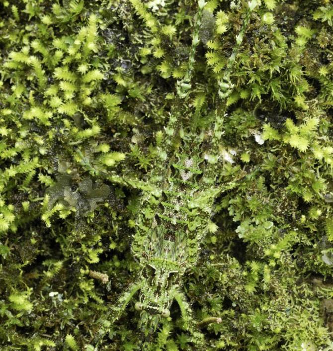 茂みのコオロギまたはTettigoniidae