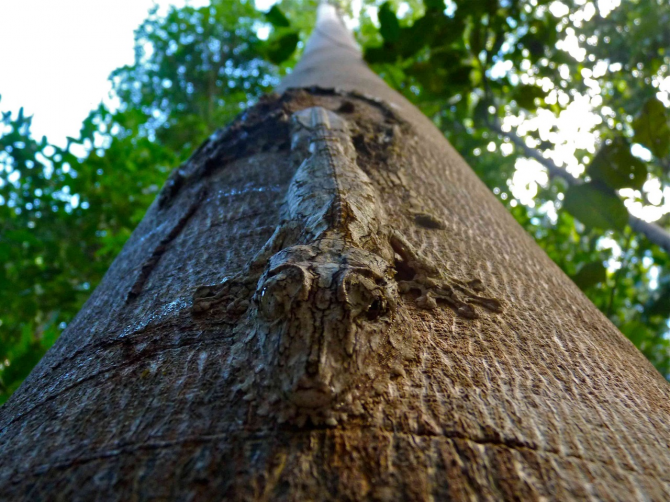 Uroplatus geckos - Madagascar
