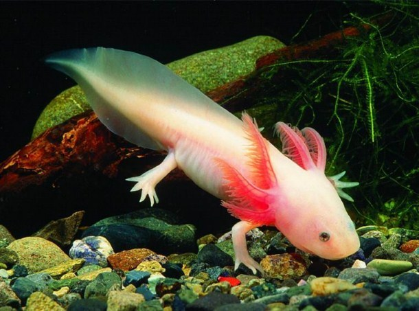 Ambystoma Mexicanum.
