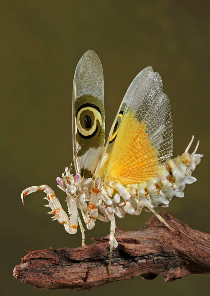 Mantis butterfly.